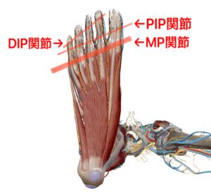 ふくらはぎ 足部 MP関節