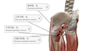 深層外旋六筋 身体の左後面から見た図