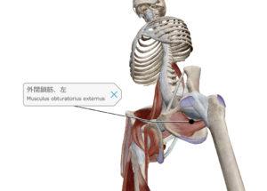 外閉鎖筋 下から見た図