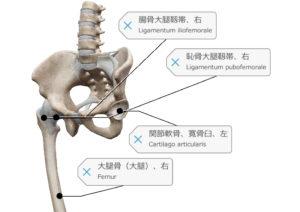 股関節 靭帯 寛骨臼