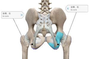 骨盤 座骨 位置