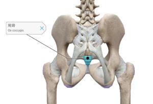 骨盤 尾骨 位置