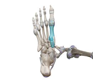 腓骨筋 中足骨 内側楔状骨