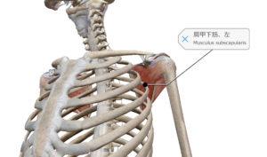 肩甲下筋 ローテーターカフ