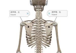 肩甲骨 肩甲上腕リズム