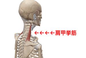 肩甲挙筋 姿勢