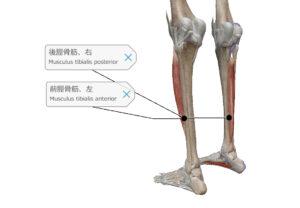 前脛骨筋 後脛骨筋