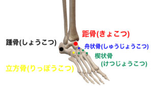 距骨 踵骨 立方骨 舟状骨 楔状骨