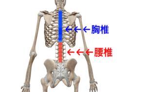 胸椎 腰椎 場所